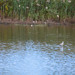 20141012 - The American Avocet
