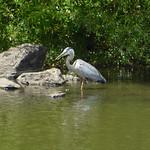 20150531 - The Heron at Hanover Pond